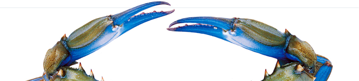 Blue swimmer grab claw